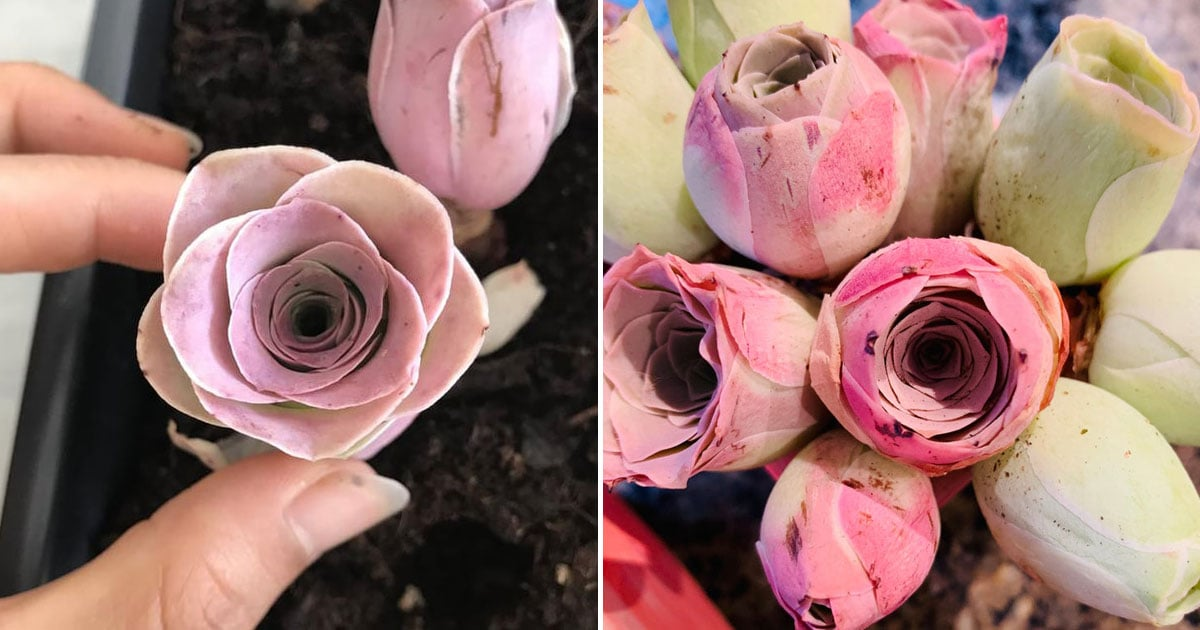 these-rare-succulents-look-just-like-roses-plus-they-are-available-on-etsy