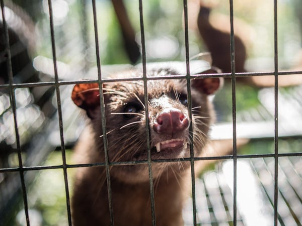 An Asian palm civet at a cage in Kopi luwak farm and farm at Ubud District Bali Indonesia